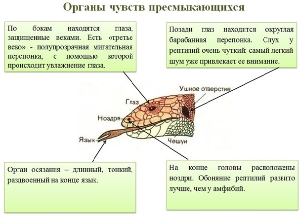 9 organy chuvstv presmykajuschihsja