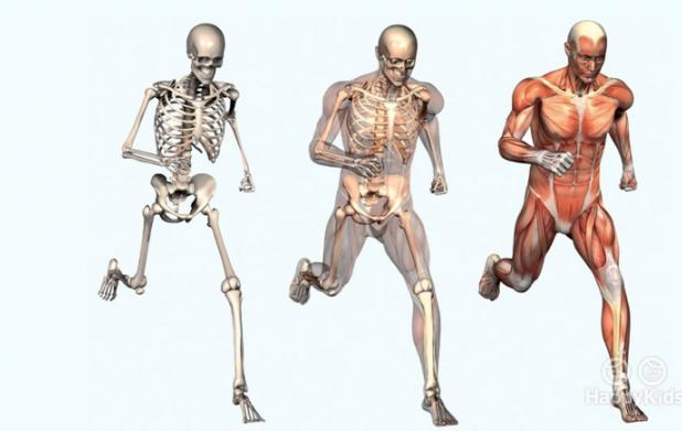 Урок 10: Кости, мышцы и суставы