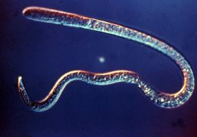 Урок 6: Круглые черви